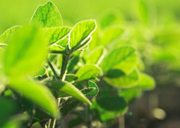 Close up of soybean plants in field